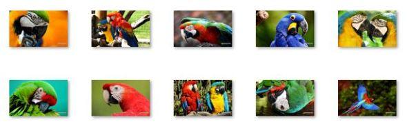 Macaw Birds Windows 8 Theme